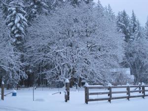 snow-covered-maple-tree